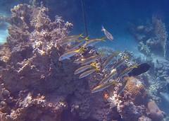 marsa alam_21 (steph-55) Tags: fish redsea egypt olympus snorkeling fishes poisson egypte poissons marsaalam merrouge steph55 avril2013