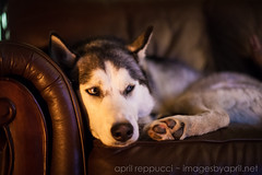 Looking Paranoid (Images by April) Tags: dog canon 50mm husky f14 siberianhusky 5d snowdog markii lazydog