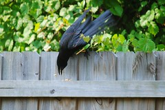 Throwing peanuts down to the Ground (Zoom Lens) Tags: bird birds intelligence sacred mystical crow spiritual crows corvid avian intelligent corvids johnrussellakazoomlens copyrightbyjohnrussellallrightsreserved crowlife