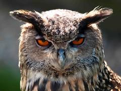 Eagle Owl (saxonfenken) Tags: 23rdapriflhampsire2013e510 eagleowl bird owl brownbaleful eyes macro ears pregamewinner thechallengefactory friendlychallenges herowinner superhero bigmomma yourockwinner a3b thumbsup favescontestwinner storybookwinner favescontestfavored gamewinner favescontesttopseed favescontestfavoriteson storybookttwwinner darkhorsewinner ultraherowinner gamex2sweepwinner gamex3sweepwinner challengewinner 15challenges 9997bird 9997 perpetual