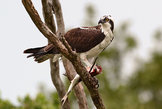 Osprey With Meal