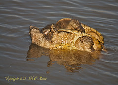 Large Snapping Turtles Mating at Mill Creek Marsh in Secaucus NJ (Meadowlands) (takegoro) Tags: creek marsh snapping nature wildlife meadowlands mill nj animals reptiles turtles turtles secaucus mating