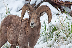 (dbushue) Tags: snow spring nikon sheep wildlife curls yellowstonenationalpark wyoming bighorn ram 2012 ynp bighornsheep coth supershot specanimal damniwishidtakenthat sunrays5 dailynaturetnc13 photoofthedaynwf13