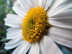 close-up-of-a-daisy (Hebetheclick) Tags: white flower macro yellow petal daisy fujifilm x10 explored
