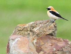 Black Eared Wheatear. (Peter J. Ham.) Tags: life colour birds algarve wheatear arochastartandend