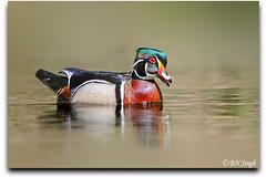Wood Duck (BN Singh) Tags: park wood wild usa bird nature water creek river duck pennsylvania pa valley wissahickon