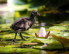 Walking on Water (Sebastian Koenig) Tags: water duck animal rose green wildlife park nature natur