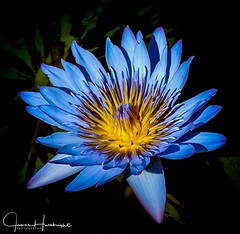 Blue Water Lily (jhambright52) Tags: waterlily bluewaterlily mauiflowers maui macroflower macrowaterlily doublefantasy ngc npc