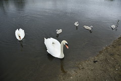Rabbit Ings (237) (rs1979) Tags: rabbitings royston barnsley southyorkshire yorkshire pond muteswan muteswans swan swans cygnet cygnets