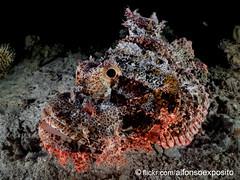 Scorpionfish (scorpaenopsis oxycephalus) (Alfonso Exposito) Tags: scorpionfish underwater pezescorpion redsea marrojo poisonous