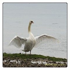 Cygne rticul (philippejubeau) Tags: anatidae de lile r philippe jubeau charente maritime oiseau