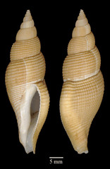 MOL_ 1851_B_significans_0000_01_340x524.gif (MaKuriwa) Tags: mollusca gastropoda neogastropoda fasciolariidae bartschia