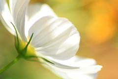 August Light (Liddy5) Tags: cosmos summer flower light macro tamron petals garden