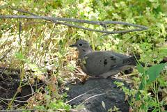Trtola (Zenaida auriculata)/Eared dove (Javiera Castro) Tags: chile santiago cerro hill fauna animal ave bird pjaro trtola eareddove zenaidaauriculata