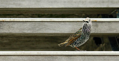 Starling (Kevin Law) Tags: bird dock volendam starling sturnus sturnusvulgaris europe