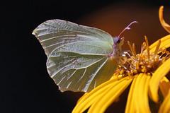 Brimstone, citroenvlinder_001 (cees van gastel) Tags: ceesvangastel natuur nature macro vlinders butterfly brimstone citroenvlinder bouvignebreda canoneos550d tamron70300mm tussenringen extensionrings