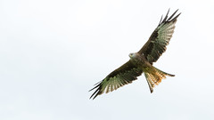 Red Kite 1 (Bas Bloemsaat) Tags: bird red kite birdofprey roofvogel vogel