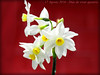 Narcisos silvestres 17 agosto 2016 (Diaz De Vivar Gustavo) Tags: yellow tus narcisos silvestres flowers flores bulbos fleur flor silvestre fleursetpaysages