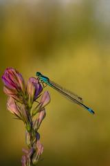 Il segreto nei suoi occhi ((Raffaella@)) Tags: summer mattinopresto august agosto rocca insetto insect damigella zygoptera fiore flower dof