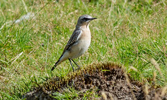 DSC5583  Wheatear.. (jefflack Wildlife&Nature) Tags: northernwheatear wheatear wheatears birds avian wildlife wildbirds woodlands moorland meadows songbirds countryside nature