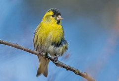 JWL4746  Siskin.. (jefflack Wildlife&Nature) Tags: siskin birds avian wildlife wildbirds woodlands songbirds finch finches forests hedgerows trees countryside siskins nature coth5