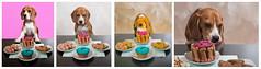 Collage (Sergio Nevado) Tags: perro dog beagle mascota pet collage happy birtuday feliz cumpleaos
