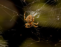 caught in its own web (PDKImages) Tags: spider spiders webs macro beauty silhouettes legs creepy danger feeding striped pounce nature