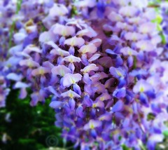 Blauregen-Glyzine (Wisteria) (duonghoangmai) Tags: flowercolors flowerphotography naturephotography naturelovers naturephotos flowers blumen gardening blossom blüte blauregen glyzine wisteria