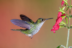 Hummer Close-up (Andy Morffew) Tags: female hummingbird closeup fullframe
