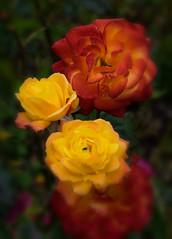The roses (Klas-Goran Photo) Tags: roses
