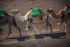 homeward bound (eden _burberry) Tags: lanzarote camel lava volcano