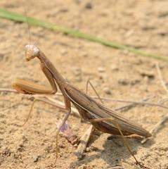 Praying Mantis (marknenadov) Tags: prayingmantis mantis insect