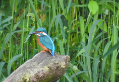 Kingfisher (Lancashire Lass ...... :) :) :)) Tags: kingfisher river riverribble june summer bird wild nature countryside alston lancashire ribblevalley