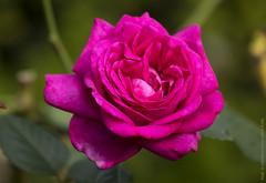 Still  Blooming (Rick & Bart) Tags: rickvink rickbart canon eos70d tspeelhof sinttruiden nature flower flora bloom rose rosas