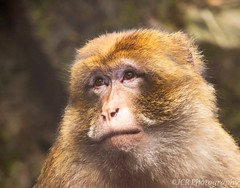 (JCRphotography) Tags: animals captiveanimals edinburghzoo jcrphotography nikkor55300mm nikond5500 jcrphotography2016 barbarymacaque animalportrait afsnikkor55300mmf4556gedvr
