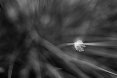 Off To Start A New Life (belleshaw) Tags: blackandwhite ranchosantaanabotanicgarden nature grass needles blades caught seed fuzz delicate wind breeze trapped detail bokeh