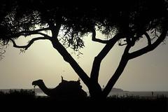 DSC03955.jpg (mikeydread) Tags: moroccophotography moroccoselected morocco marrakech essaouira sonyrx100iv atlas imlil camels beach sunset tree ouline kitesurfing