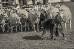 Pinceladas de la Rural... (gustavoriverasimois) Tags: rural prado gaucho uruguay campo
