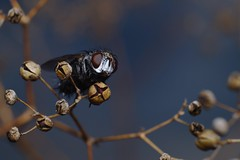 DSCF0263 (faki_) Tags: fuji fujifilm xe1 fujinonxf60mmf24rmacro 60 24 rovar insect légy fly