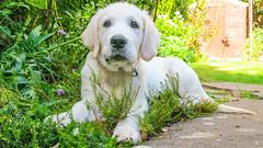 Charlie 14.5 weeks (Mark Rainbird) Tags: canon charlie dog garden powershots100 puppy retriever uk burghfieldcommon england unitedkingdom