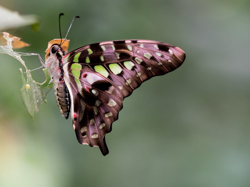 Green Spotted Triangle Butterfly
