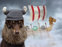 Ally the Viking (aussiegall) Tags: ally kelpie dog ragnarlodbrok costume
