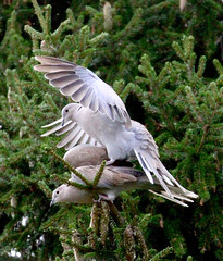 Le temps des amours... (valerierodriguez1) Tags: tourterelle turtledove oiseau bird outside extrieur vert green sapin fir canon eos 7d nature