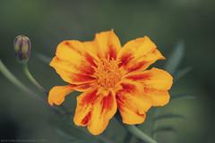 Still  Blooming (Rick & Bart) Tags: rickvink rickbart canon eos70d tspeelhof sinttruiden nature flower flora bloom