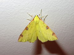 La Citronnelle rouille (Opisthograptis luteolata) (Didier Auberget Photographie) Tags: macro insecte insecta lepidoptera lpidoptre geometroidea ditrysia geometridae ennominae opisthograptis papillon papillondenuit moth citronnellerouille opisthograptisluteolata butterfly brimstonemoth