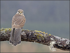 Kestrel (kimbenson45) Tags: winter brown scotland moss log branch depthoffield raptor perch lichen captive raining kestrel birdofprey controlled falconry cairngorms ineffable differentialfocus naturesimages diffusebackground