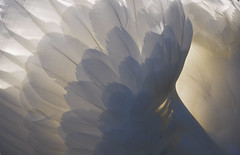 DSC_0075 - Angel wings (SWJuk) Tags: uk light england sunlight home canal swan nikon feathers naturallight lancashire backlit leedsliverpoolcanal d90 2013 nikond90 myfreecopyright swjuk mygearandme mygearandmepremium mygearandmebronze mygearandmesilver mygearandmegold mygearandmeplatinum rememberthatmomentlevel4 rememberthatmomentlevel1 feb2013 rememberthatmomentlevel2 rememberthatmomentlevel3