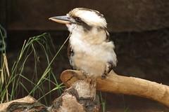 Wildlife Sydney Zoo - #11 (Christopher Yardin) Tags: bird zoo sydney kookaburra australianwildlife
