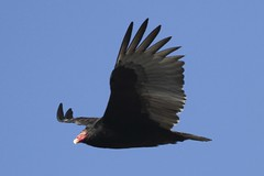 Turkey Vulture Soaring (Scott Alan McClurg) Tags: winter wild house bird smart animal turkey fly backyard head wildlife flight wing seed crest neighborhood deck eat land feed curious vulture buzzard flap soar inquisitive glide