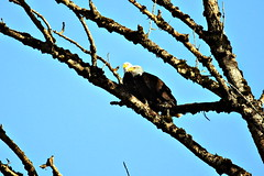 Two eagles (CleanCletus) Tags: bird oregon eagle baldeagle forestgrove fernhillwetlands
